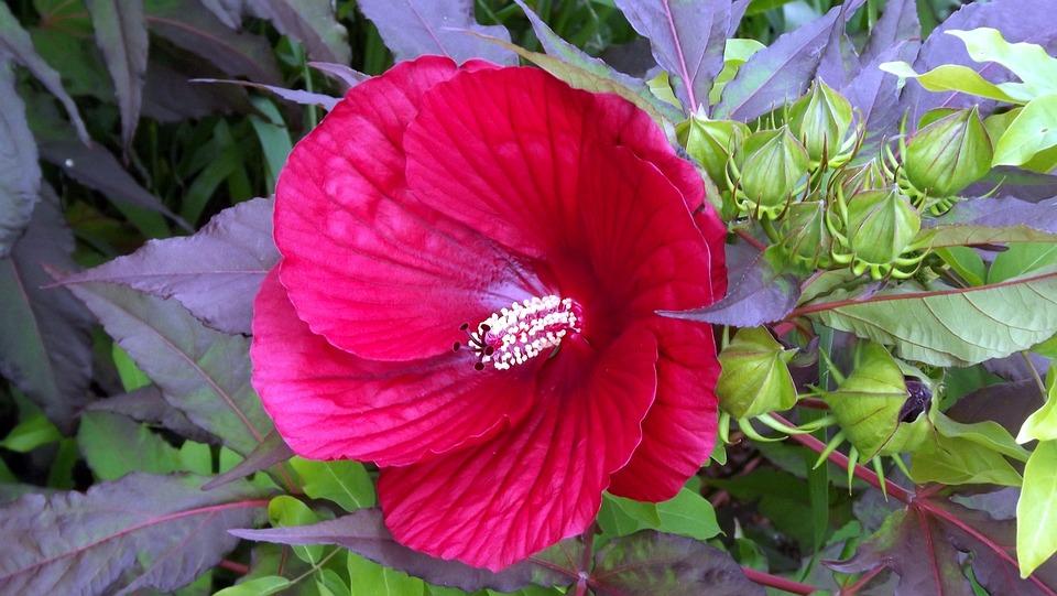 Plants, Flowers, Hibiscus, Rose Chinese, Huge Flower