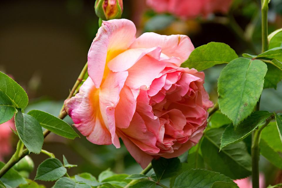 Rose, Los Angeles, Climbing Rose, Flowers, Pink, Yellow