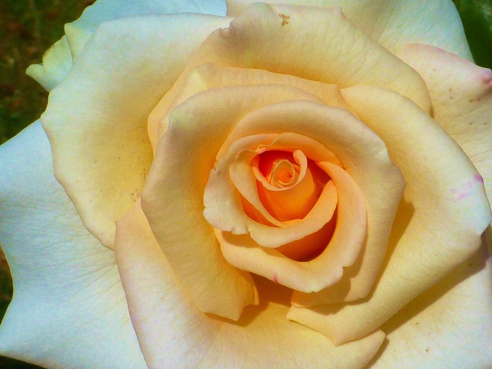 Rose, Salmon, Close