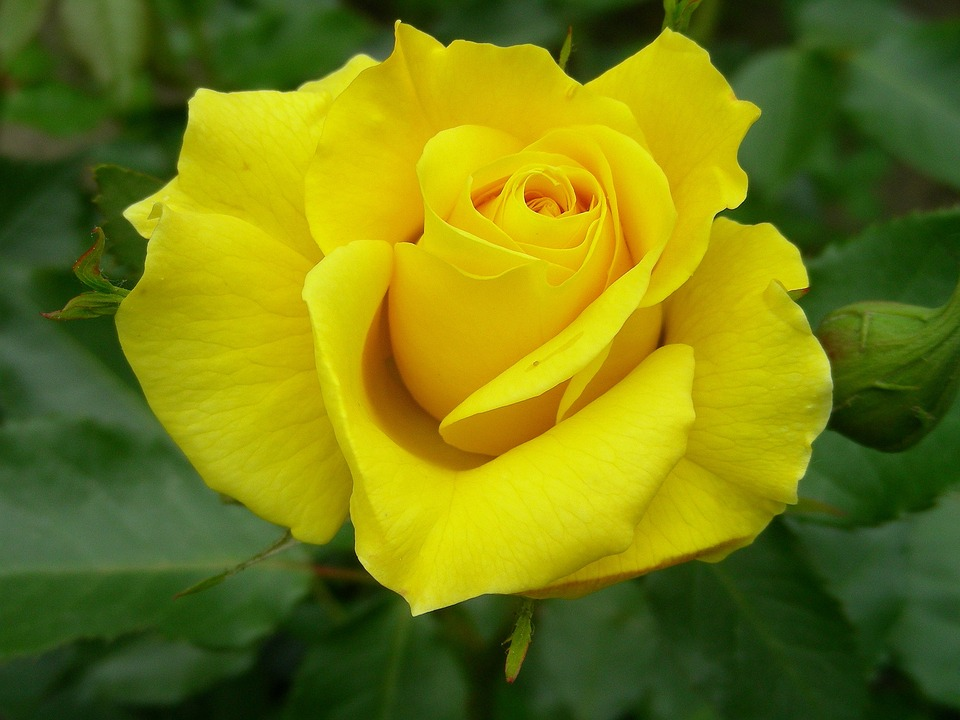 Rose, Yellow, Close, Rose Bloom, Yellow Roses, Flowers