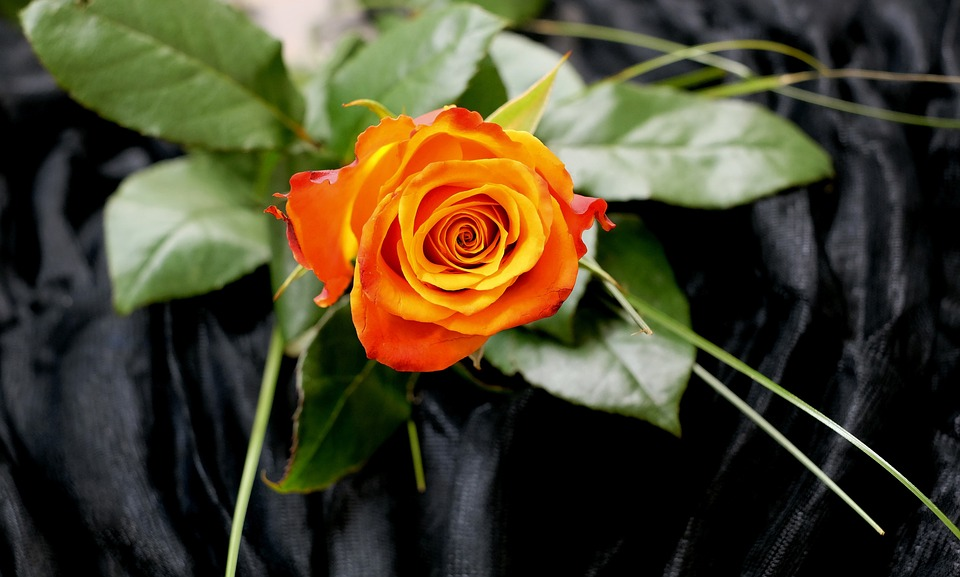 Rose, Floribunda, Rose Bloom, Color, Romantic