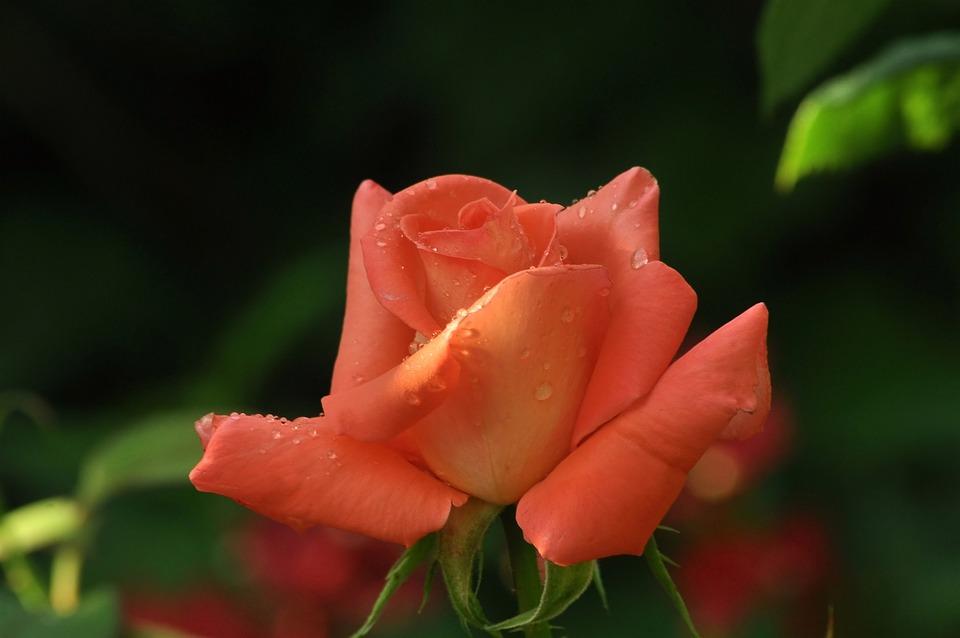 Flower, Pink, Rose, Spikes, Dark, Background, Greens