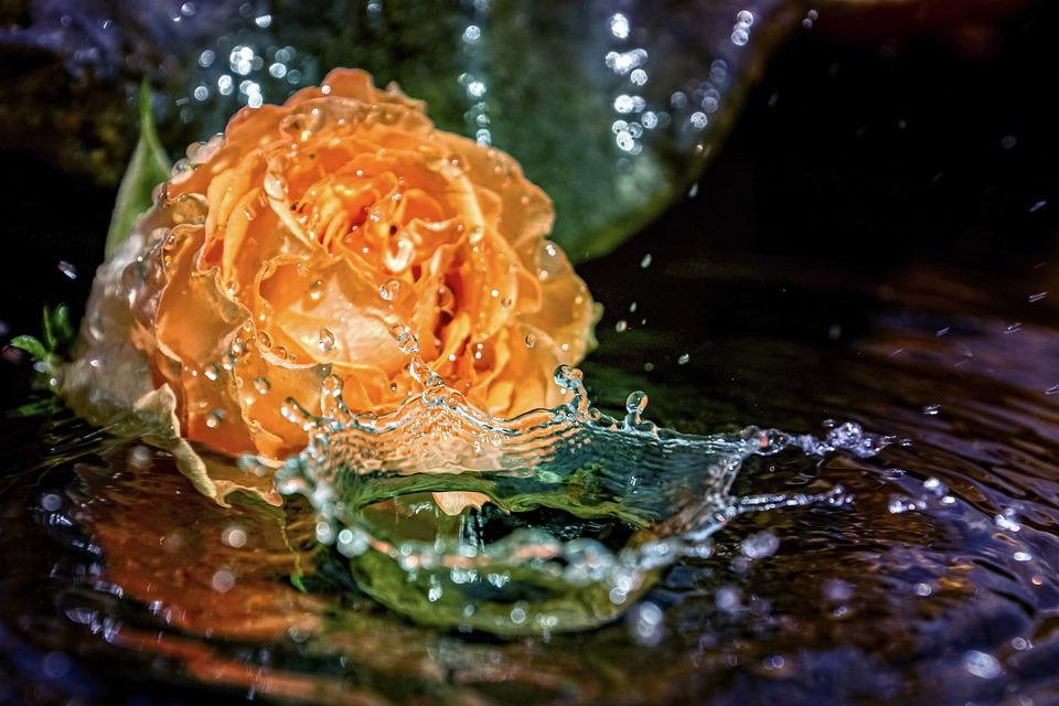 Rose, Fountain, Water, Drip, Drips, Sparkling, Wet