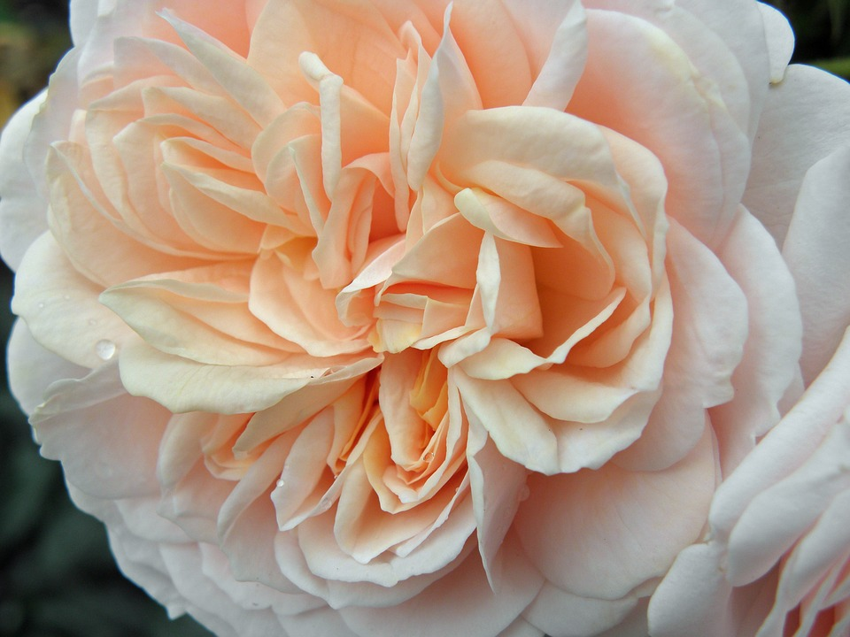 rose floral flower english rose pink peach garden - Peach Garden Rose