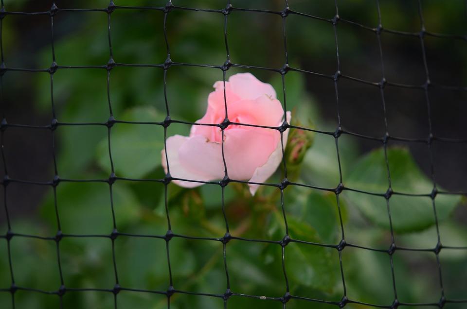 Fence, Grid, Pink, Rose, Nature, Flower, Floral, Spring