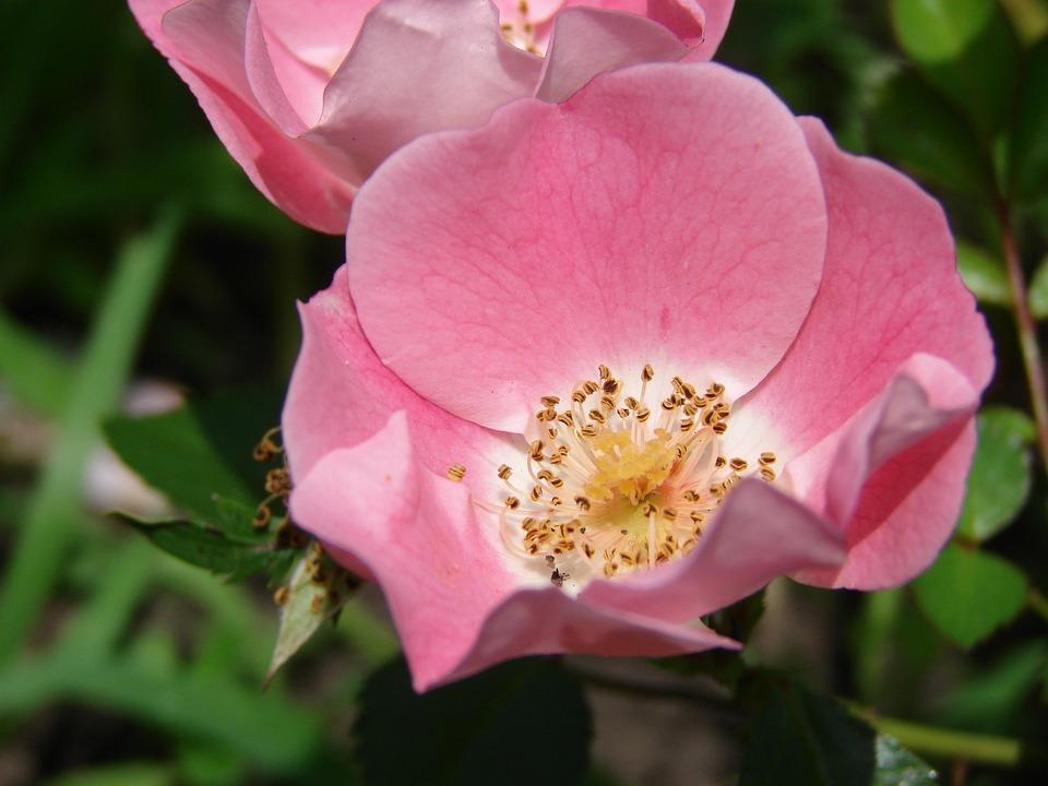 Rose, Flower, Floral, Plant, Natural, Blossom, Bloom