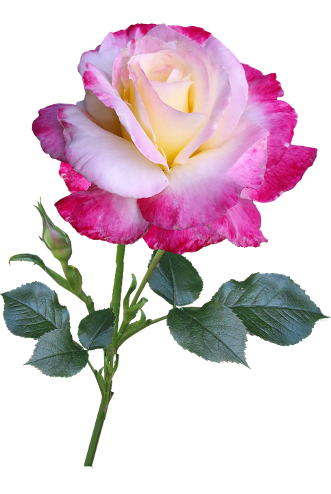 Rose, Flower, Stem, Double Delight, Cut Out
