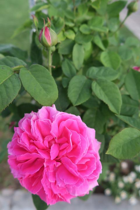Rose, Pink Roses, Gulpembe, Flower, Nature, Plant