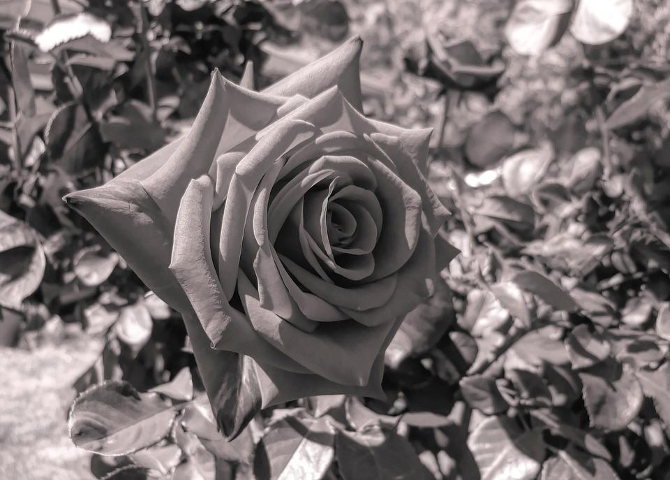 Rose, Flower, Nature, Flora