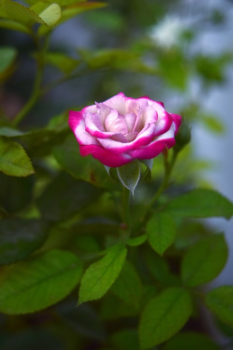 Rose, Flower, Nature, Garden