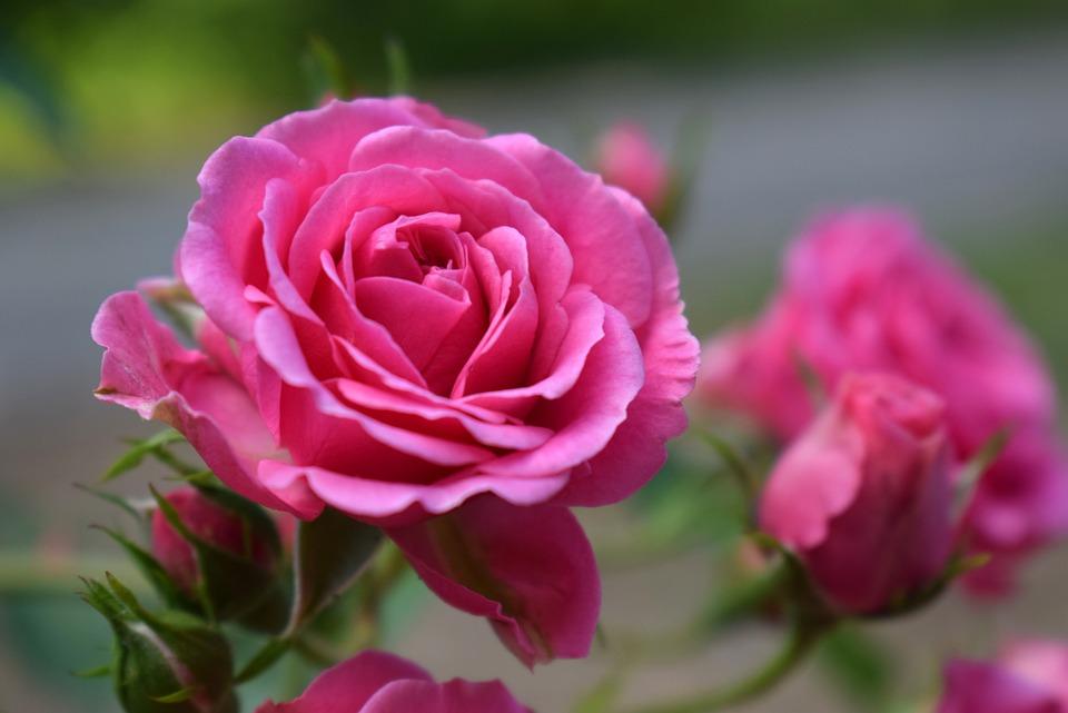 Roses Rose Flower Garden Pink Color Floral
