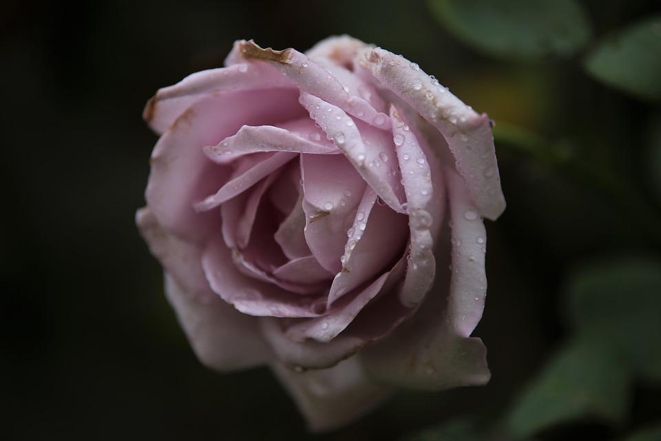 Blue Moon Rose, Rose, Flower, Purple Blue Moon Rose