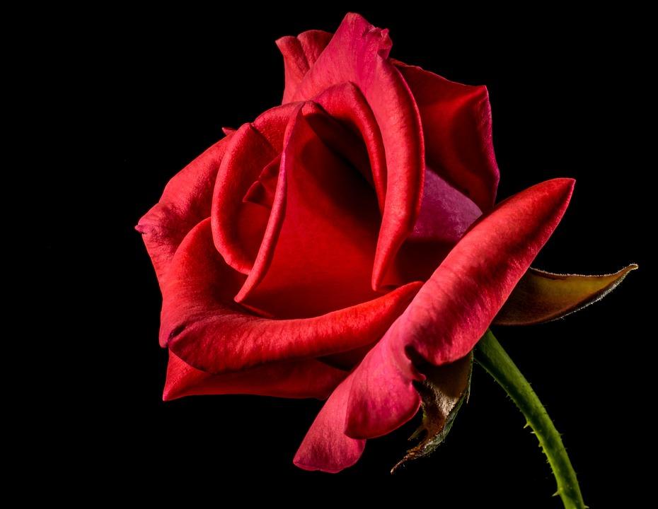 Rose, Flower, Petals, Red Rose, Red Flower, Bloom