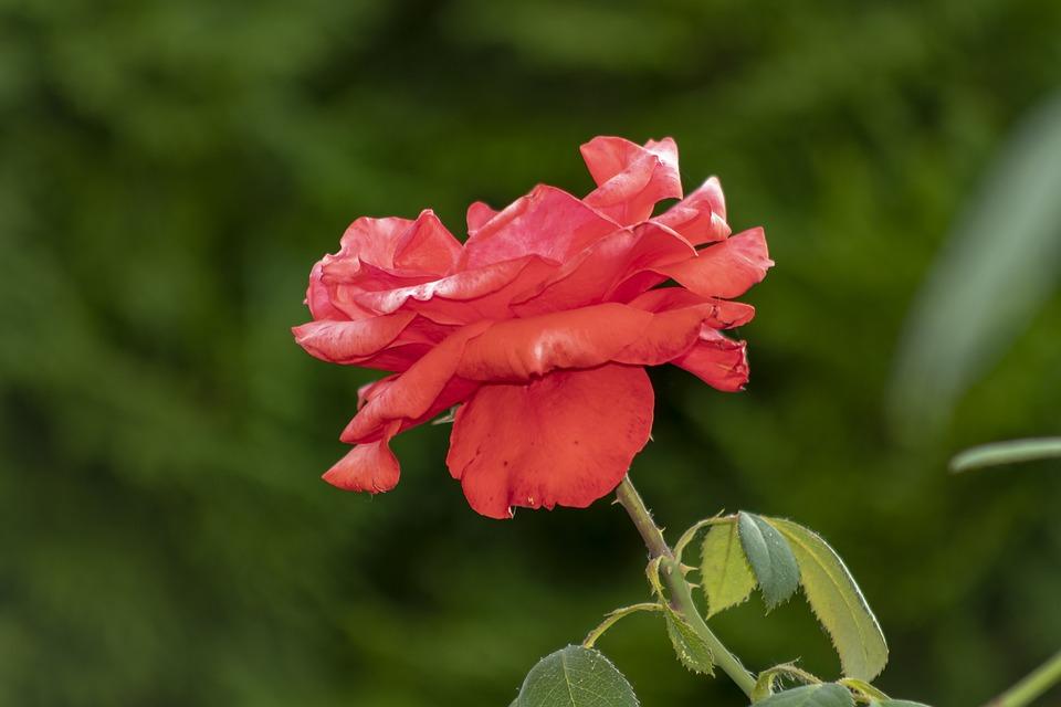 Rose, Tea Rose, Flower, Red, Petals, Blooms At, Petal
