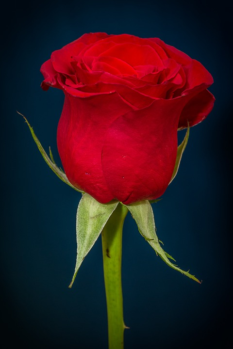 Rose, Red Rose, Red, Flower