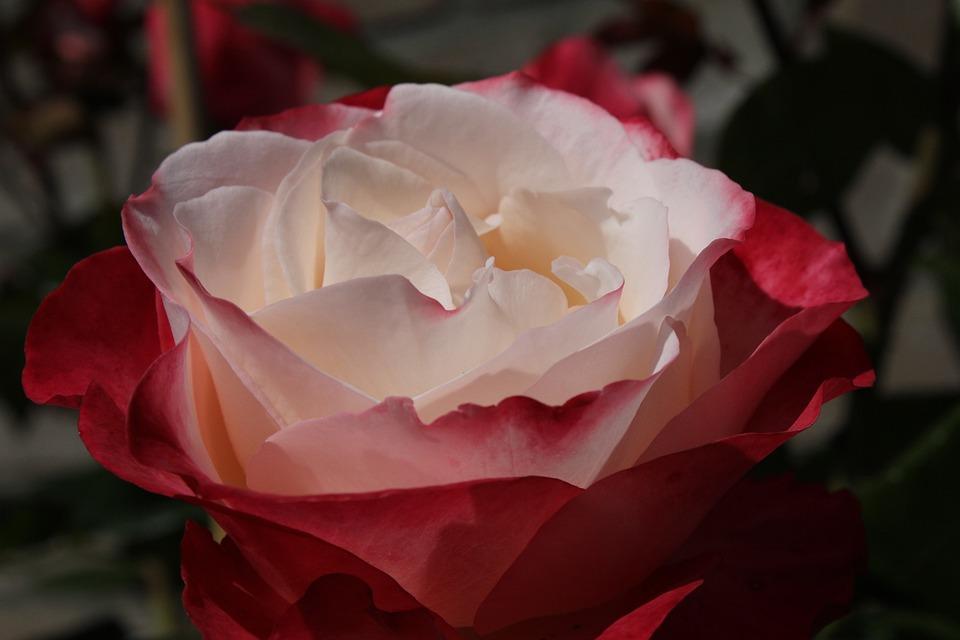 Rose, Flower, Nature, Red Rose, Flowers, Garden Plant