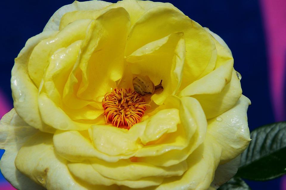 Rose, Yellow, Flower, Garden, Snail, Molluscum, Plant