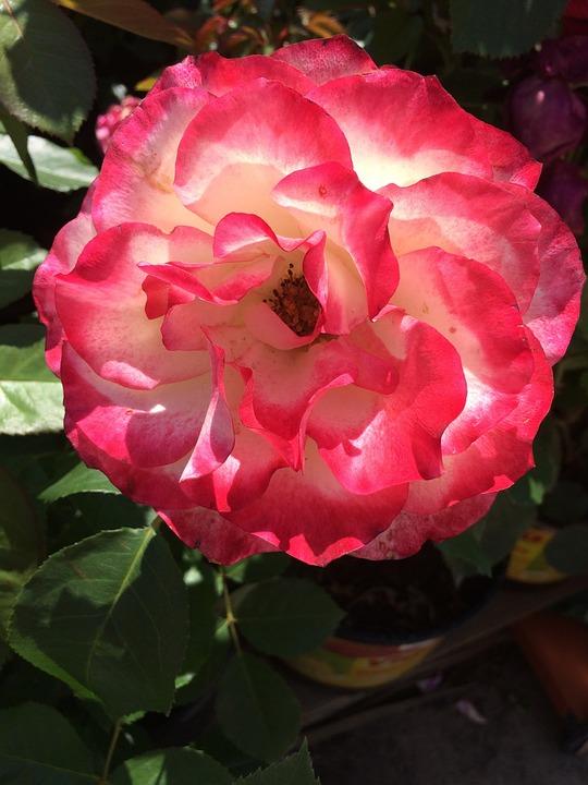 Flower, Summer, Rose