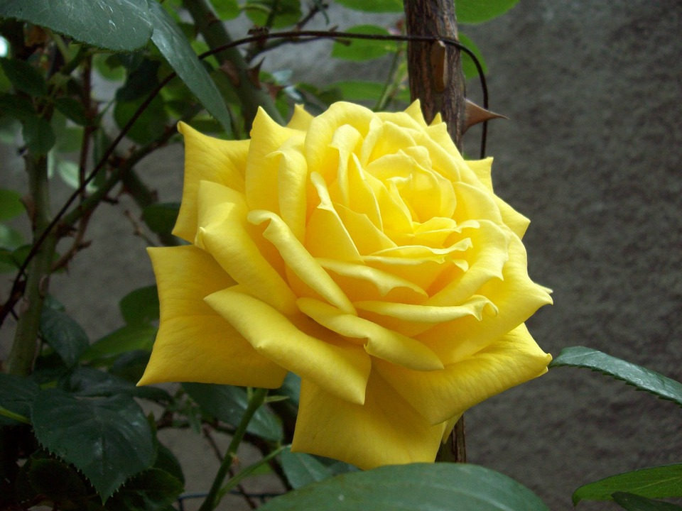 Wildflower, Rose, Floral, Flower, Plant, Natural