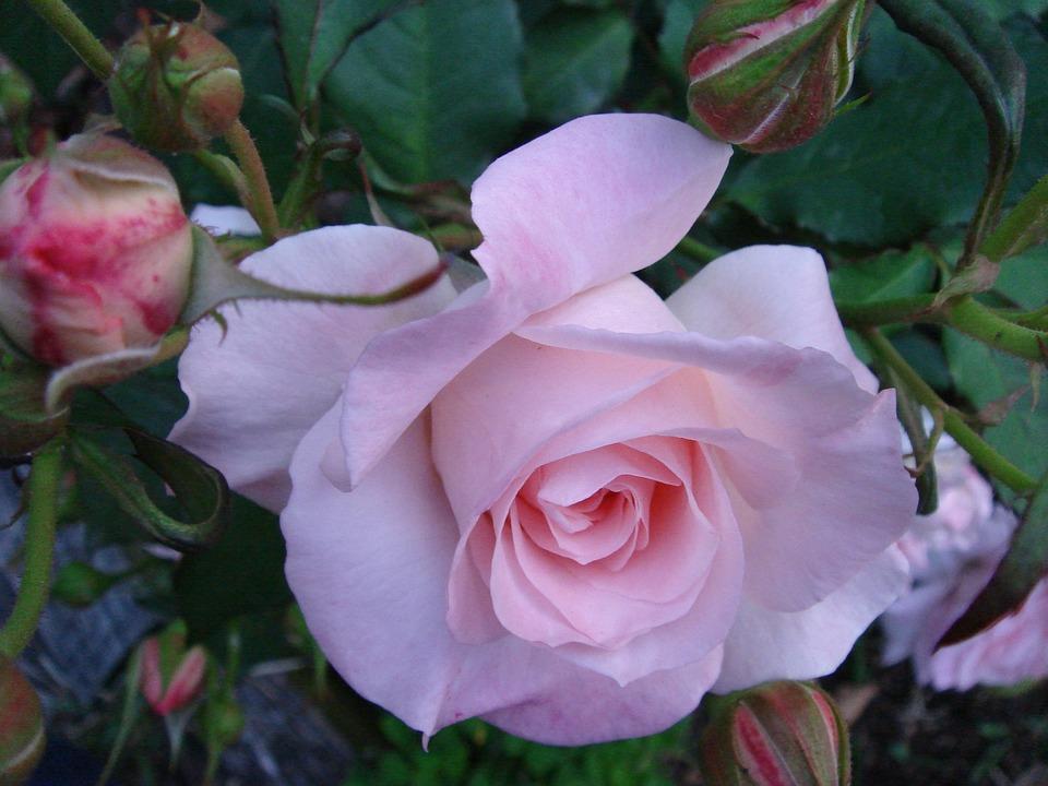 Rose, Flowers, Plant