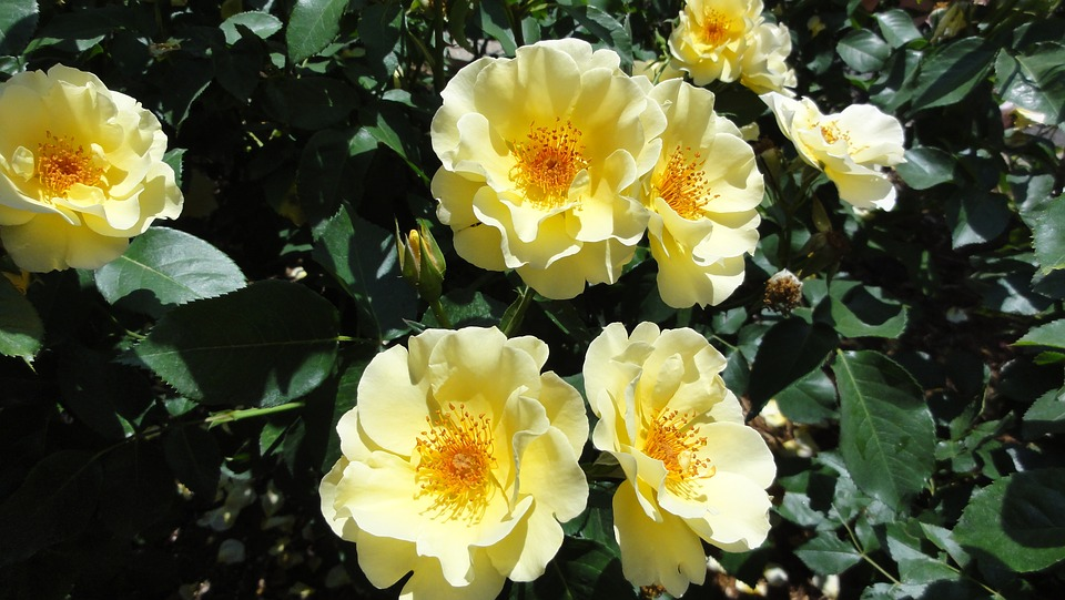 Flowers, Rose, Yellow Flowers