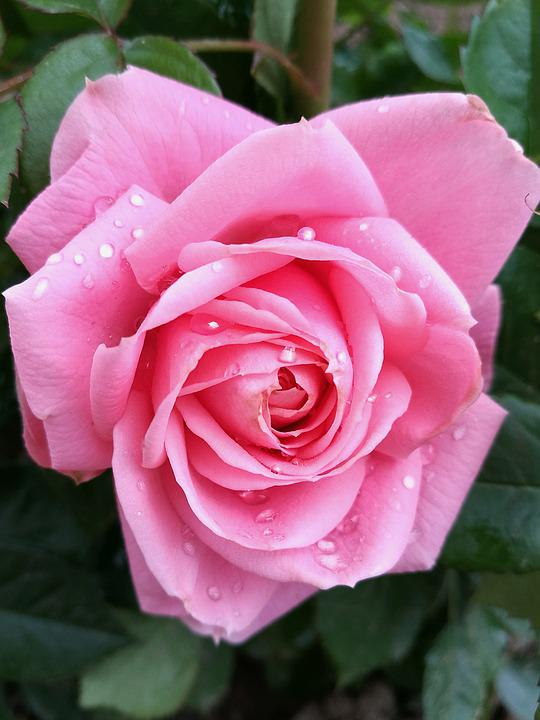 Rose, Bud, Pink Rose, Garden, Flower, Nature