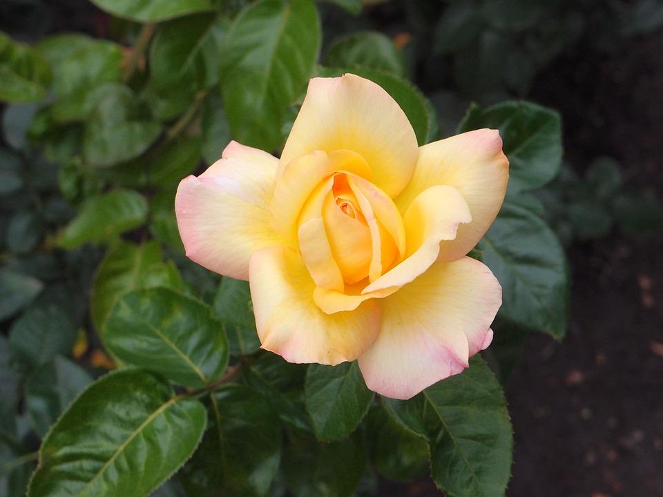 Flowers, Garden Flowers, Flower Bed, Rose, Roses