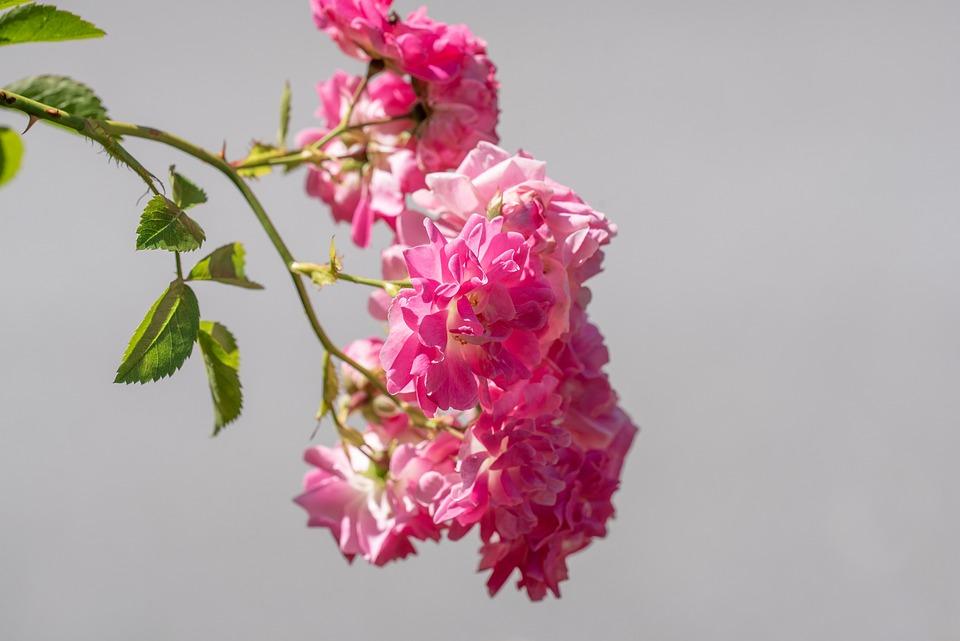 Roses, Pink, Flowers, Rose Garden, Garden