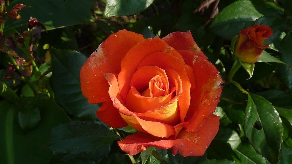 Rose, Summer, Garden, Tender, Plant, Flowers