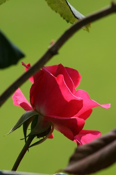 Rose, Red, Garden, Red Rose, Summer