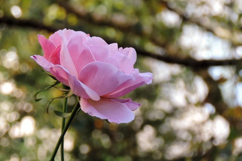 Rose, Pink, Blossom, Bloom, Pink Rose, Garden Roses