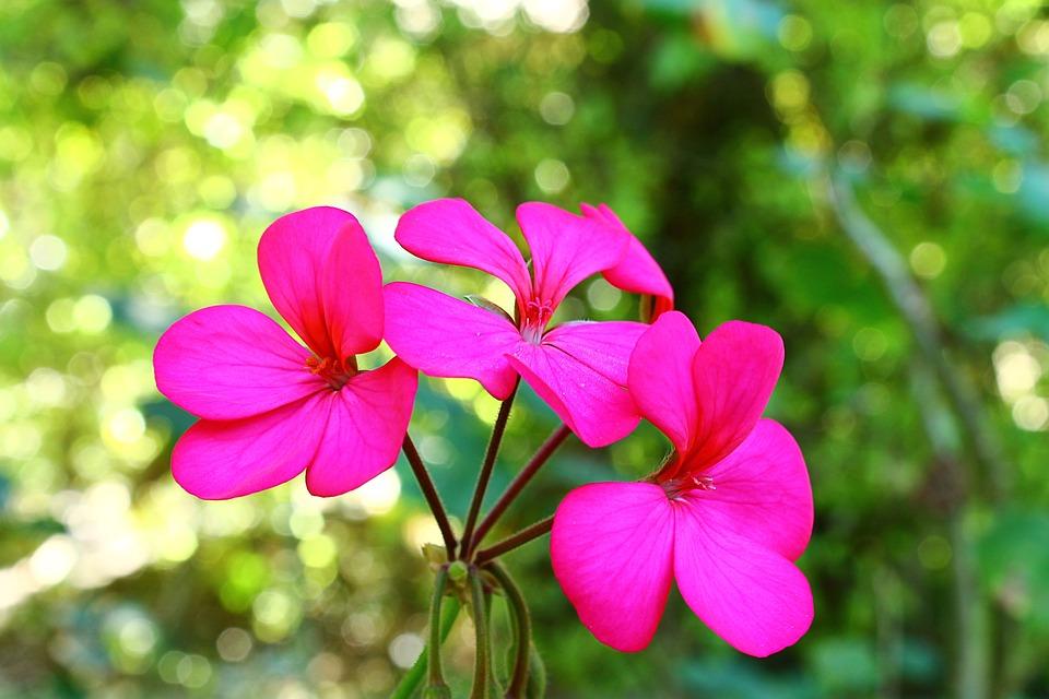 Geranium, Rose Geranium, Flower Of The Field