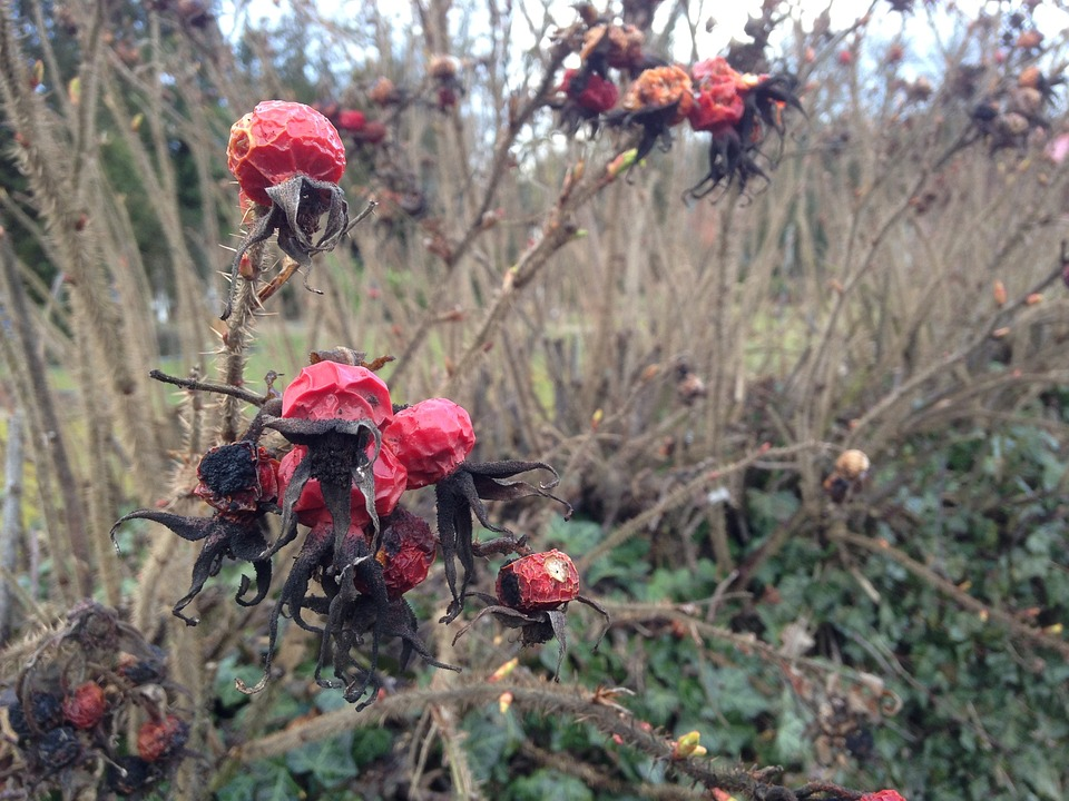Rose Hip, Faded, Autumn, Red