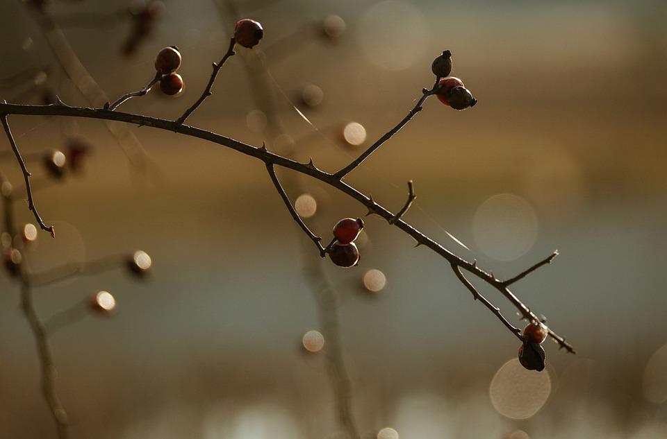 Rose Hip, Bush, Berry, Winter, Light, Reflections