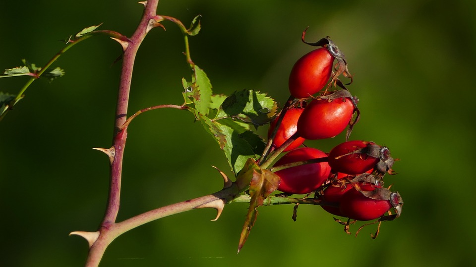 Nature, Landscape, Rose Hip, Thorns, Branches, Leaves