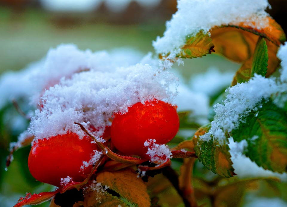 Rose Hip, Snow, Winter, Cold, Wintry