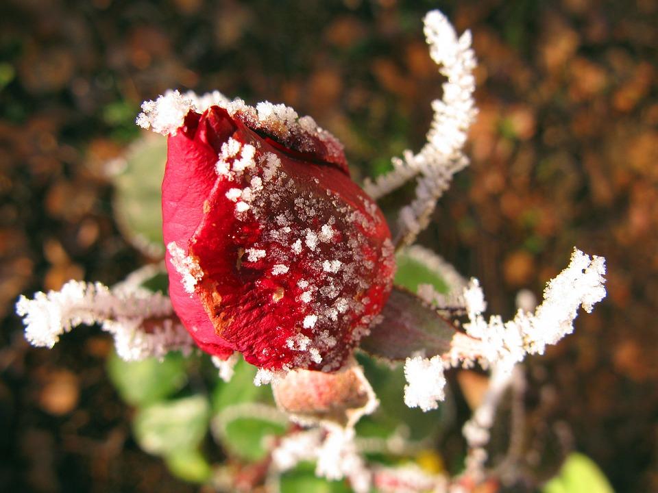 Rose, Winter, Ice, Transient, Transience