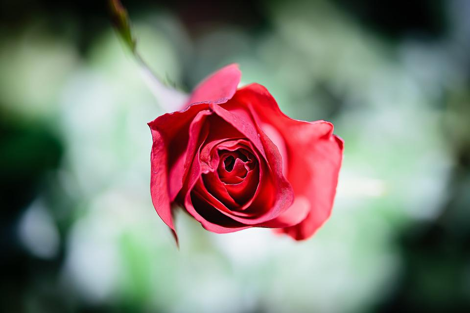 landscape photography flowers. flowers rose landscape photography a red