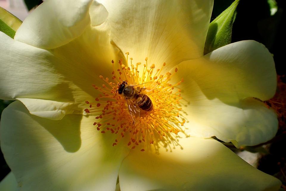 Nature, Flower, Plant, Rose, Bee, Light, Leaf, Garden