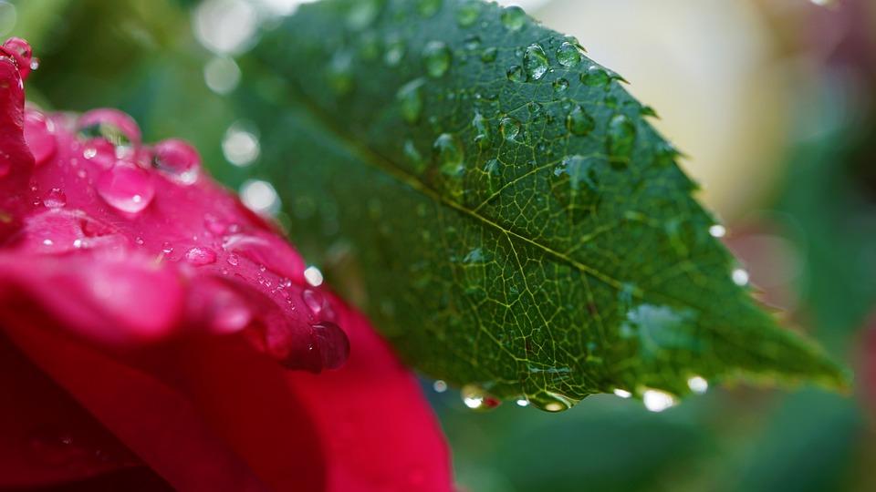 Background, Surface, Autumn, Rose, Leaf, Macro, Rain