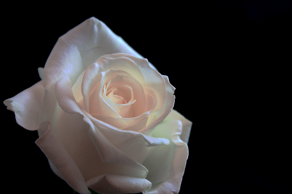 Flower, Rose, Love, Romance, Give, Black Background