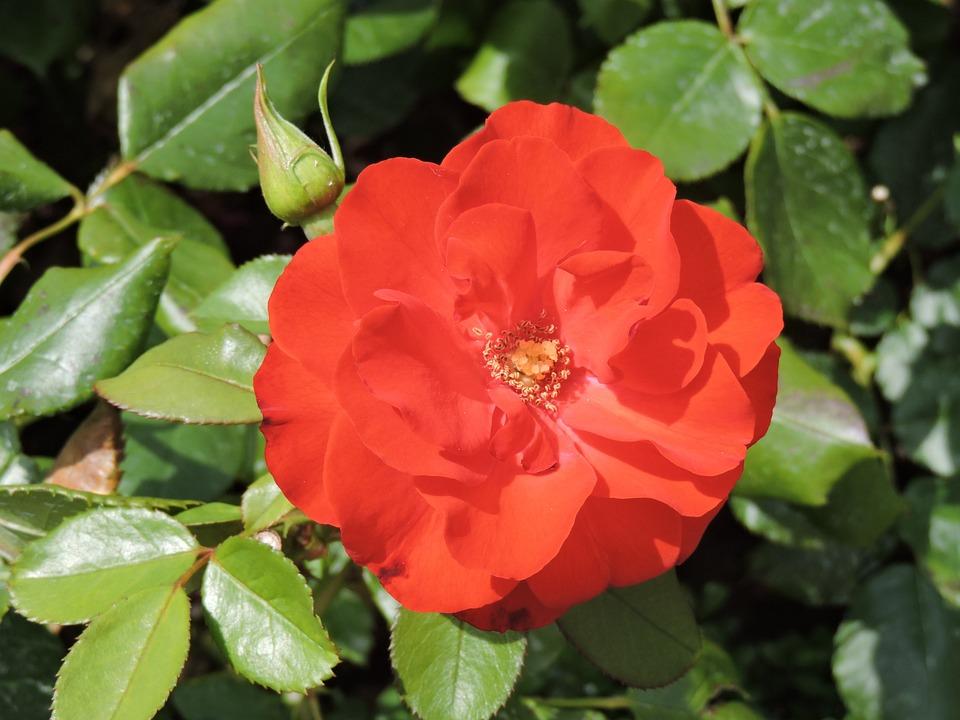 Rose, Red, Flower, Blossom, Bloom, Small Flower, Macro