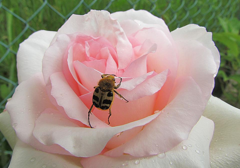 Nature, Rose, Pink, Beetle
