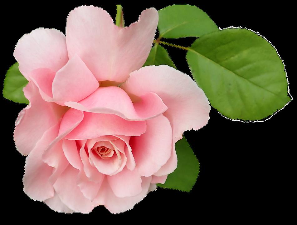 Flower, Pink, Rose, Bloom, Plant, Garden, Nature