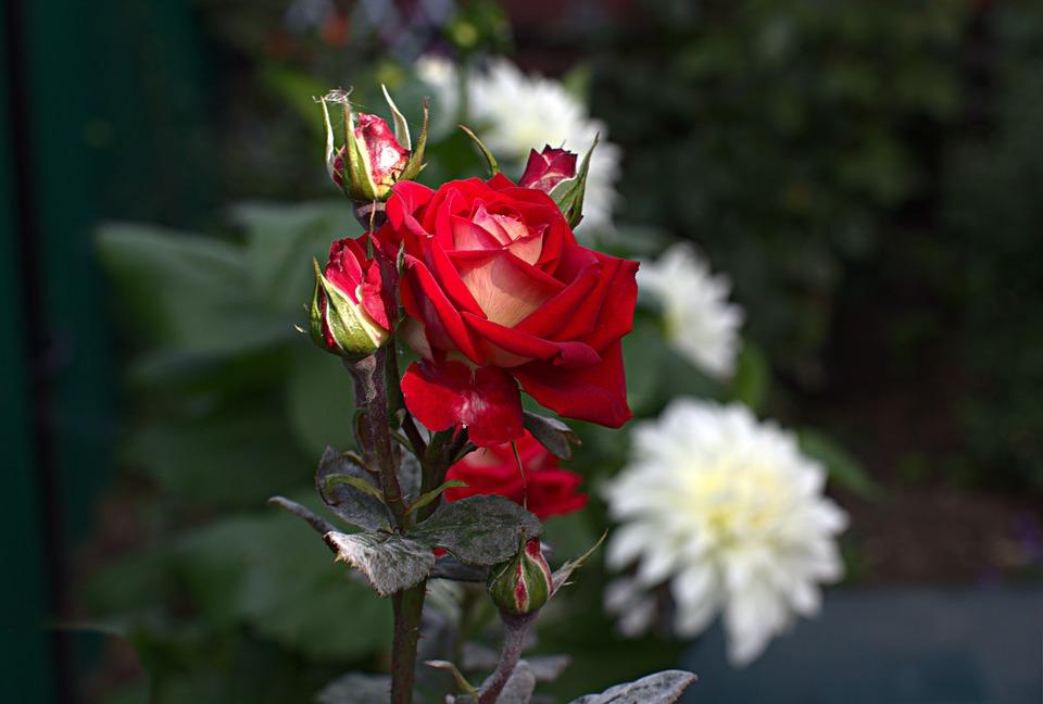 Rose, Flower, Bloom, Love, Roses, Flora, Petals, Nature