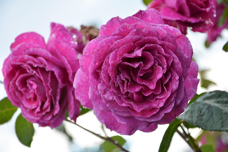 Flower Nature Plant Rose Garden Pink Roses