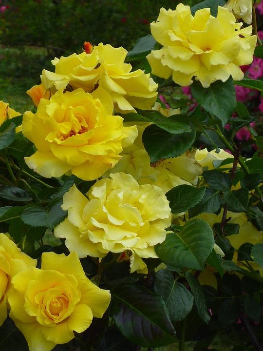 Rose, Blooming Flower, Lemon Yellow, Nature