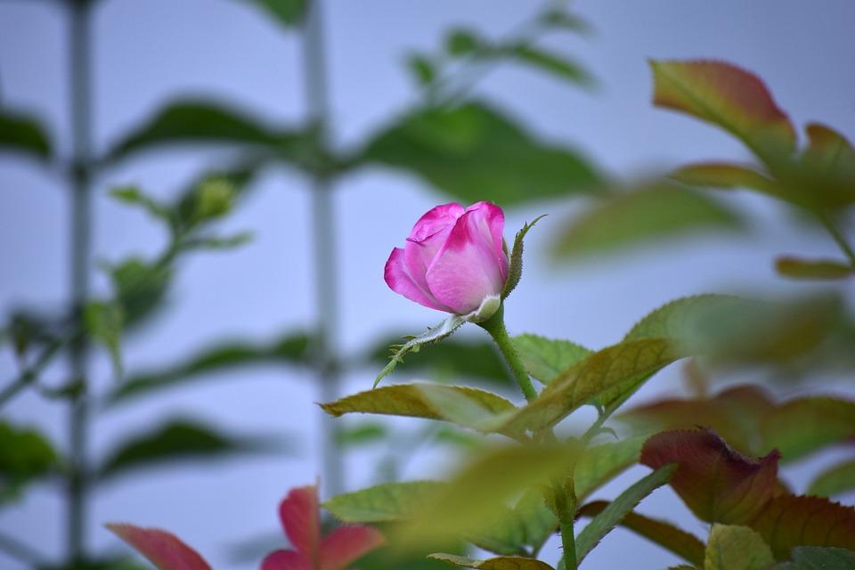 Rose, Flower, Bloom, Nature, Pink, Blue Rose