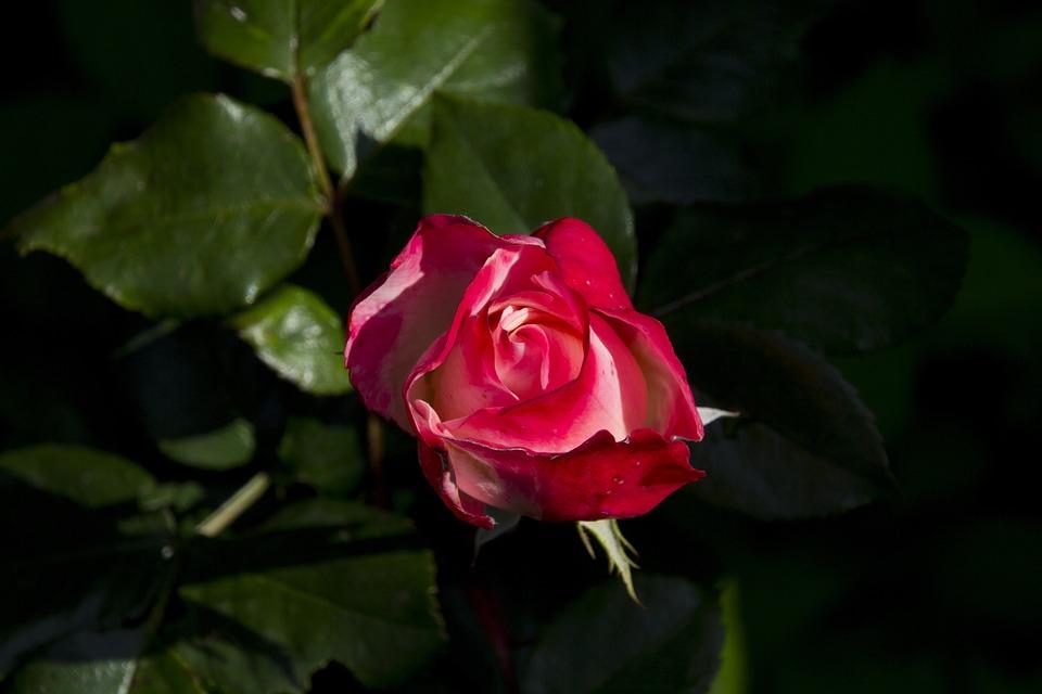 Rose, Flower, Nature, Romantic, Rose Bloom, Romance