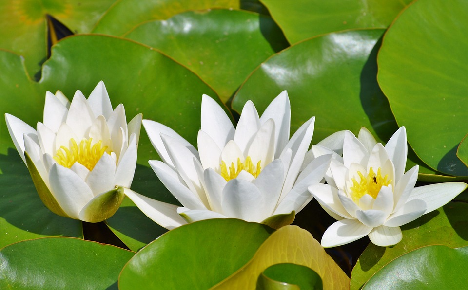Water Lily, Rose, Flower, Water Rose, Nuphar Lutea